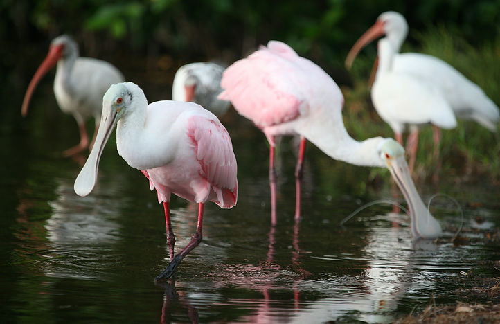 Roseate Spoonbill and White Ibis by Kelly Lyon