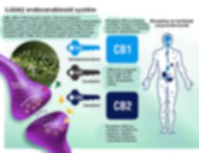 CB Receptors.jpg