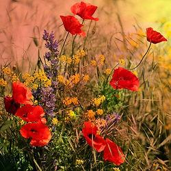 poppies-1378167_1920.jpg