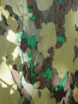 Erable vert