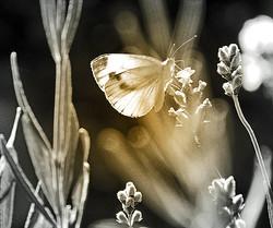 Papillon doré...