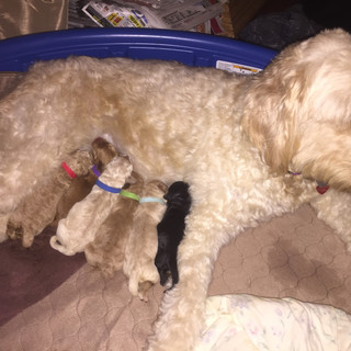 Goldendoodle Puppies For Sale Ny Saratoga Goldendoodles