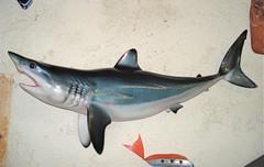 Requin mako 80cm