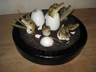 Eclosion bébés crocodiles