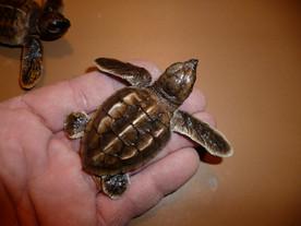 Bébés caouannes 6cm (2)