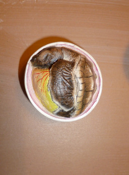 Embryon tortue caouanne 5cm