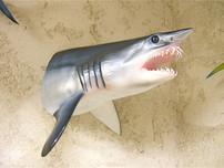 Requin mako 80cm (tête)