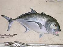Carangue ignobilis 96cm