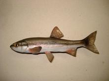 Blageon 15cm