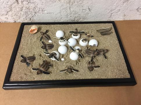 Éclosion de tortues caouannes (1)