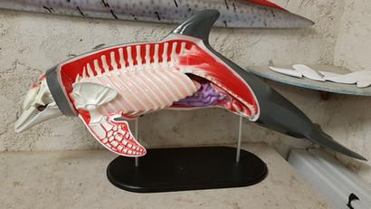 Grand dauphin 120cm (2)