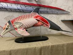 Grand dauphin 120cm (5)
