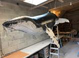 Baleine à bosse 2m