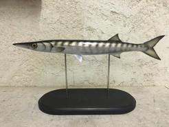 Barracuda 60cm