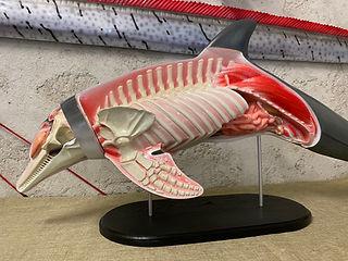 Grand dauphin 120cm (6)