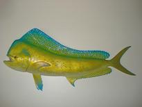 Coryphène 60cm