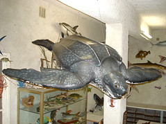 Tortue luth 170cm