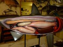 Requin pèlerin 130cm (4)