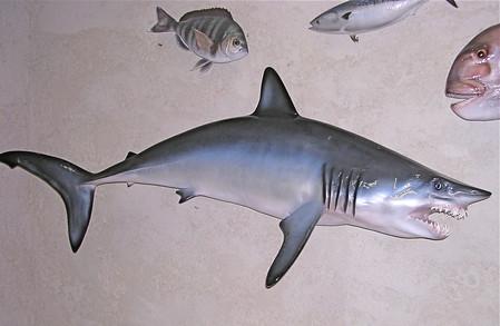 Requin mako 165cm