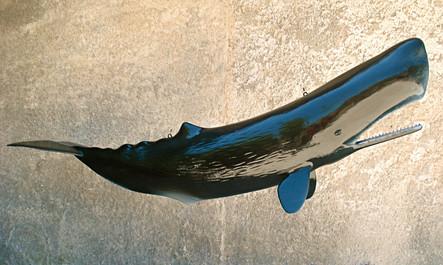 Cachalot 140cm