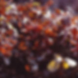 Chondrus crispus フルールドメール