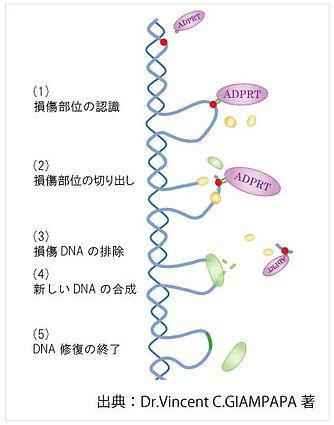 DNA修復メカニズム.jpg