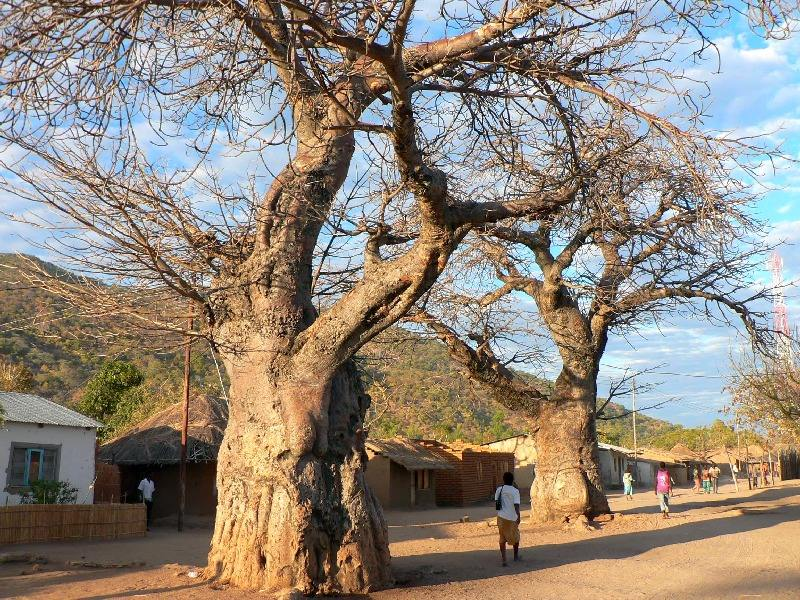 Baobabs in Cape Maclear