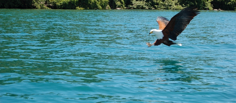 Eagle Fishing Time in Cape Maclear