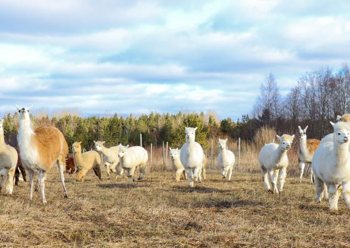 Alpaka- ja laamatüdrukud jooksus