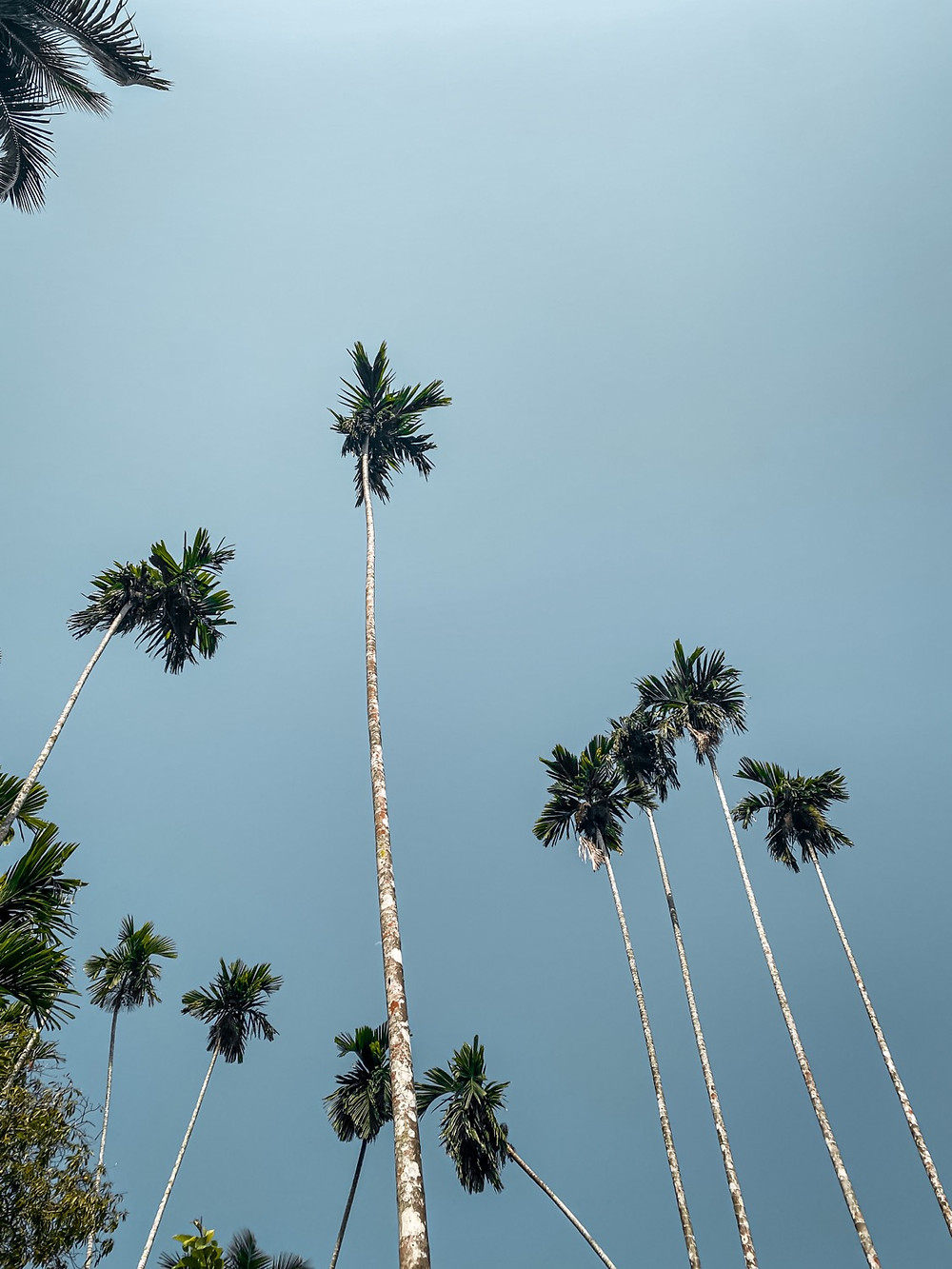 Tall palm trees, Sky, Tropical