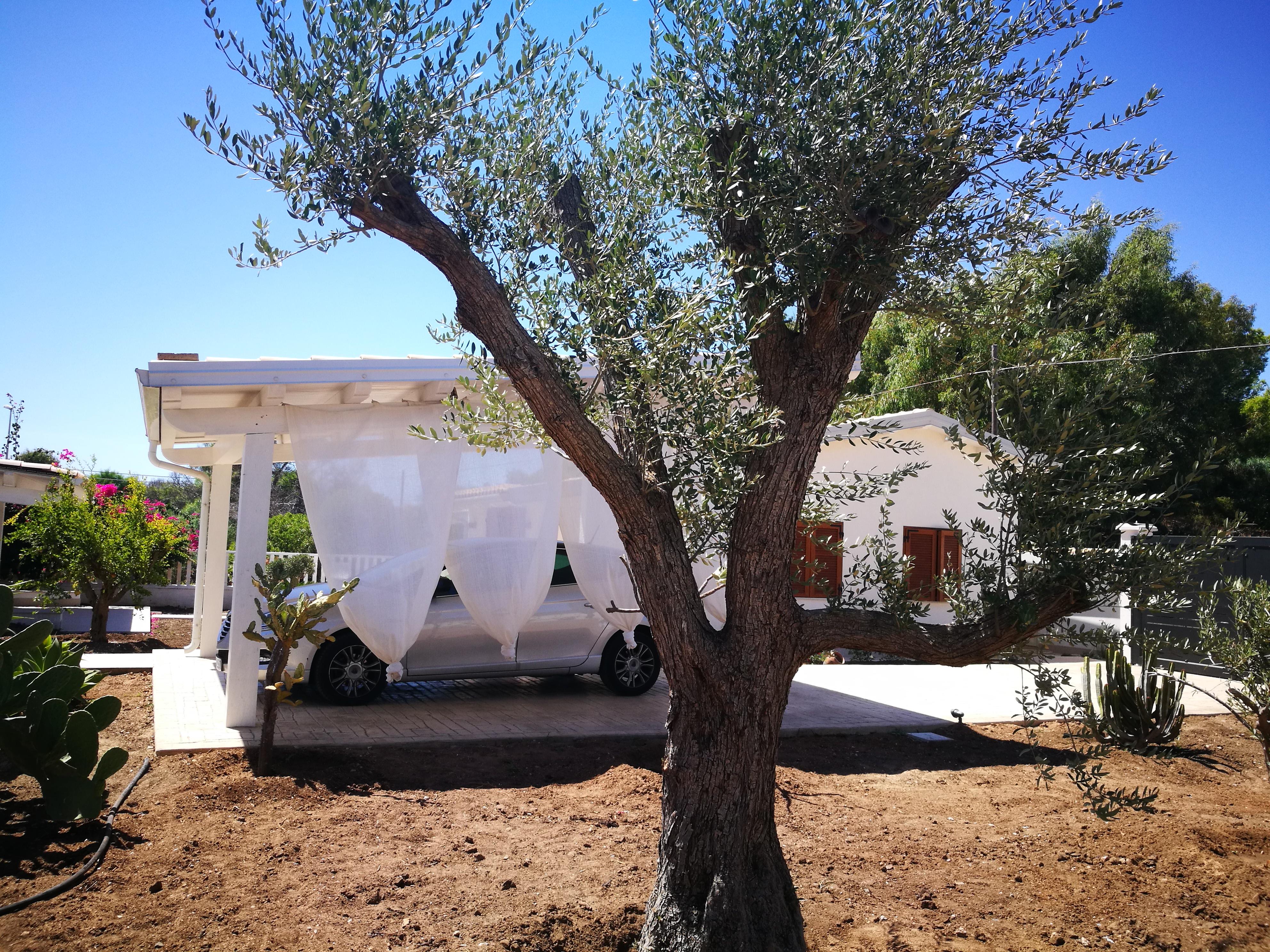 """""""Vito"""" de oude olijfboom"""