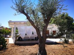 """""""Vito"""" the olive tree"""