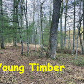 Young Growing TImber