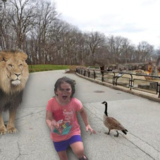 Milwaukee Zoo Letting Lions Roam Grounds To Cut Ever Growing Enclosure Costs