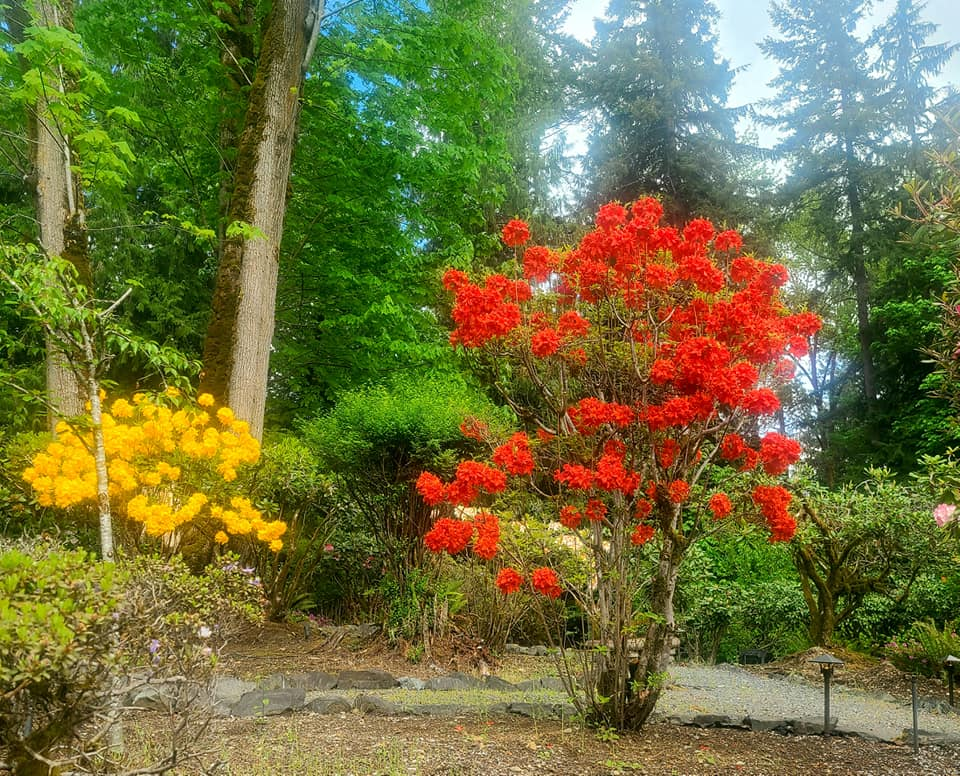 Rhodies in May