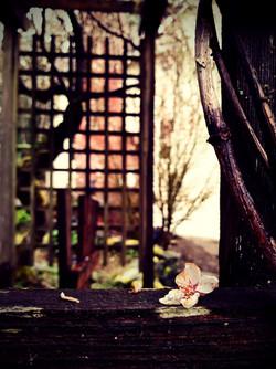 Weeping cherry tree arbor