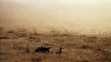 A Migratory locust swarm