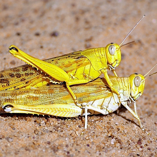 Desert Locust preventive management and the ongoing invasion