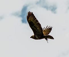raptor-4862108_1920_edited.jpg