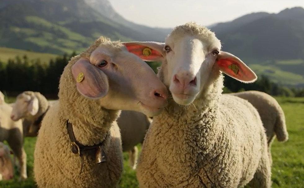weba Merino Sheep 3.JPG