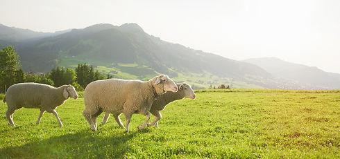 weba Merino Sheep 4.jpg