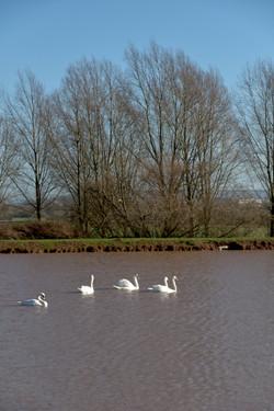 210122 6 Swans (1)