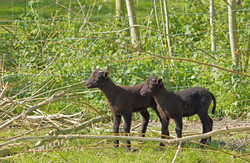 2 Black Sheep 1 out of focusjpegsm