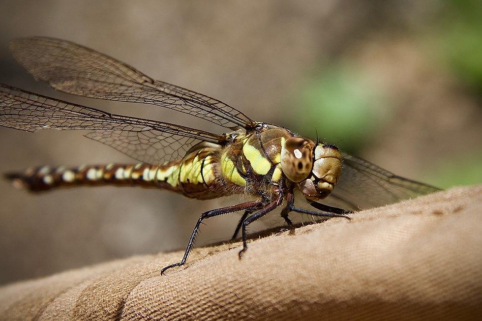 Dragon fly - Rees.jpeg