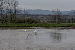 2 210213 5 Swans on Frozen__ Pond