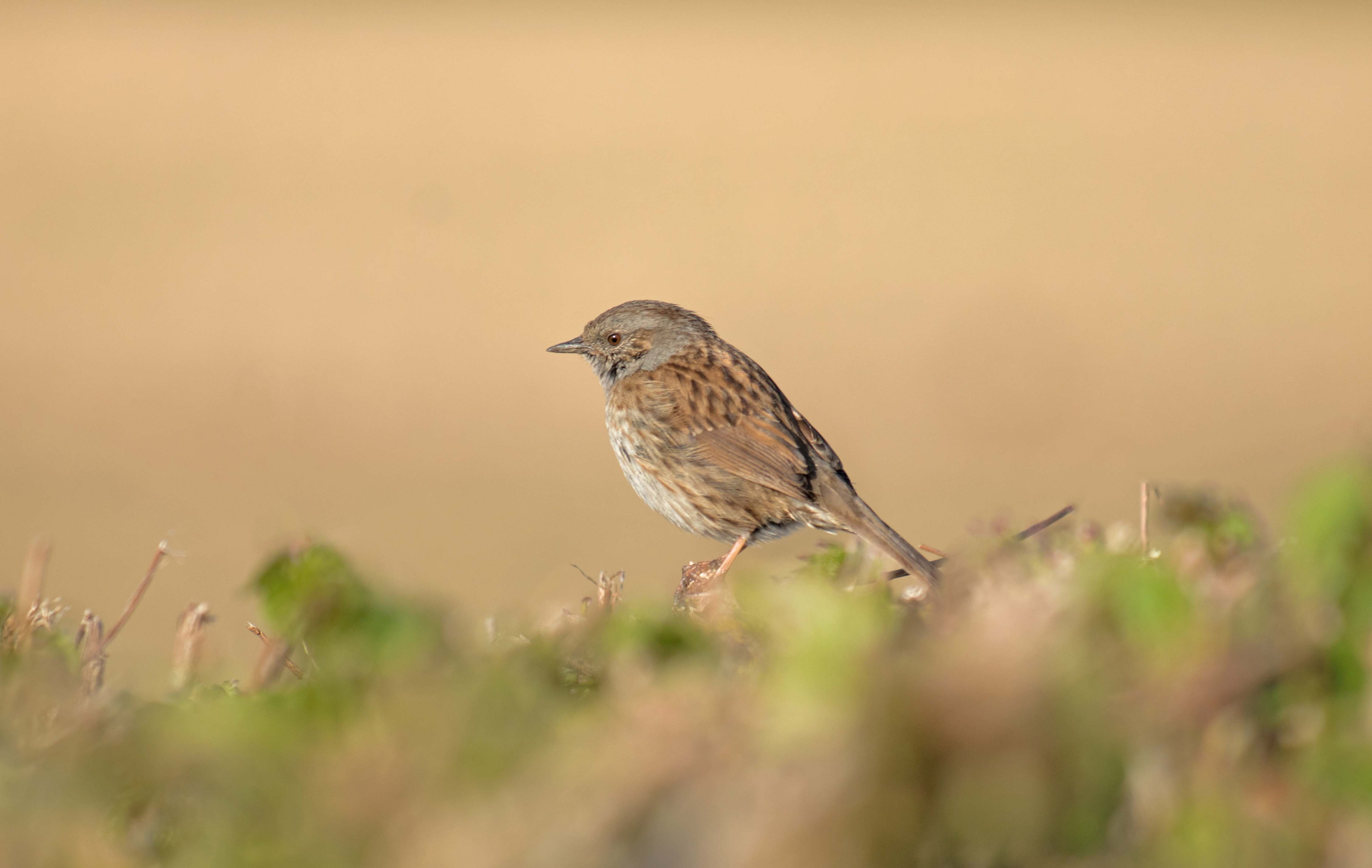Bird in a Hedgerowjpegsm