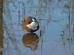 One legged Duckjpegsm