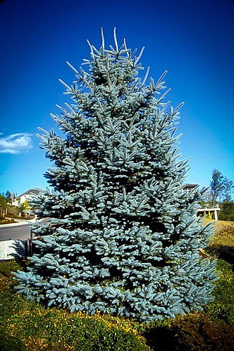 Blue Spruce - #15 container