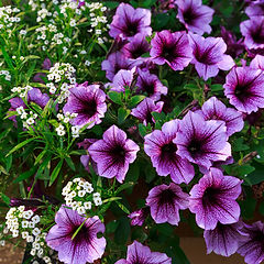 Purple petunias and white alyssum in a window box or planter..jpg