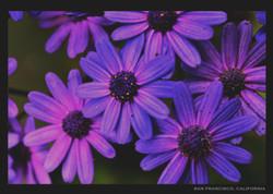 San Fran Flowers 5x7